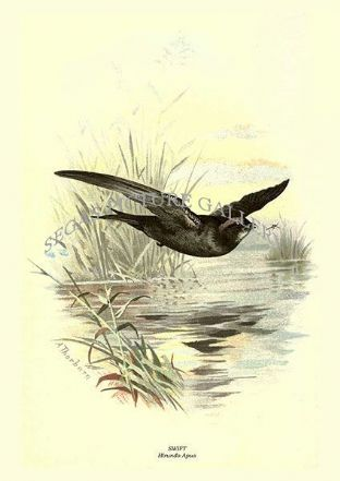 SWIFT - Hirundo Apus